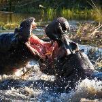 Hippos -- Linyanti Bush Camp