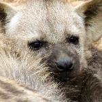 One of the hyena pups cuddling its caregiver