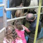 Helping with the milking