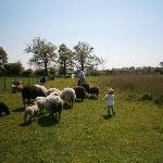 Grandad Matthew and Amy settling sheep for shearing