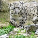 Elusive Snow Leopard