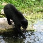 Speckled Bear Going for a Drink