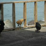 Chickens roaming at the Cafe