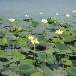 Water lillies along the shoreline