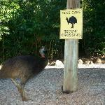 The resident cassowary!