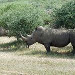 Les rhinos