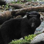 A black bear on Long Beach