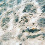 Picasso Triggerfish -I was following it all day long amazed of its colours