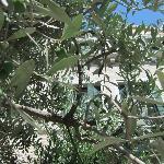 olive tree in hotel garden