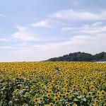 日本一の ひまわり畑。