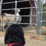 The llamas are used to having dogs around