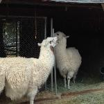 Dolly & Willow (Dolly llama, get it?)