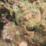 Scorpionfish #2