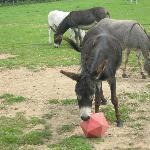 Donkey Football