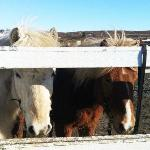 Icelandic Horses at the Laxnes