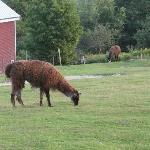 Llamas and a horse graze leisurely.