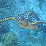 Hawksbill and someone getting a ride