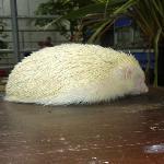 Albino hedghog