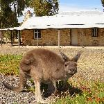 Kangaroo at Homestead