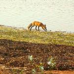 Fox scavenging shoreline near the boardwalk
