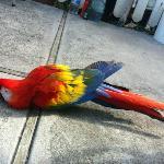 Местный попугай)