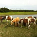 wild ponies on Assateague