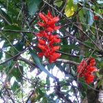 Flame of the forest vine