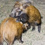 Bush Pigs at the Braai