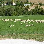 Morning visit by sheep