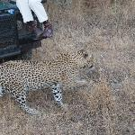 leopard walking really close to the jeep