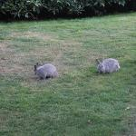 Some of the many bunnies in Minoru Park behind the hotel