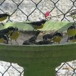 Chibi Chibi's (suikerdiefjes) in tuin bungalow 26 (Casa Chibi Chibi)