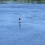 Blue heron on a rock near Prince of Wales bridge
