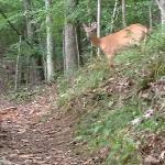 Deer on Chipmunk Trail