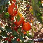 muy buenos los tomates