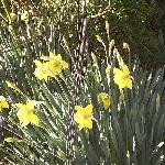 Beautfil daffodils that herald the spring