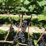 Pinot Noir grapes on the arbor.