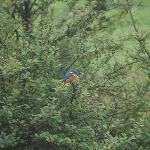 Resident Kingfisher - Comes atlest once a day - check reception for timings ;)