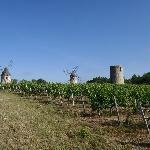 Windmills in the vineyards