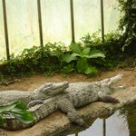The Alligators