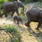 Walking safari and baby elephant
