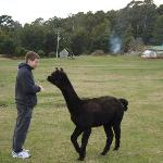 The alpacas on site are friendly & adorable!