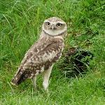 Burrowing Owl - guess what happened next?