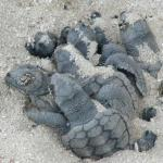 another pic for the new born turtles !
