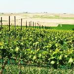 Sawtooth Vineyard in May