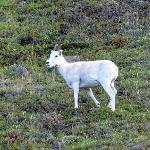 Dall Sheep spotted on way out of park