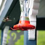 Our resident humming bird