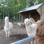The Alpacas were friendly and curious!