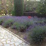 Lavender in the garden.