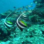 Namalata Reef Moorish Idols